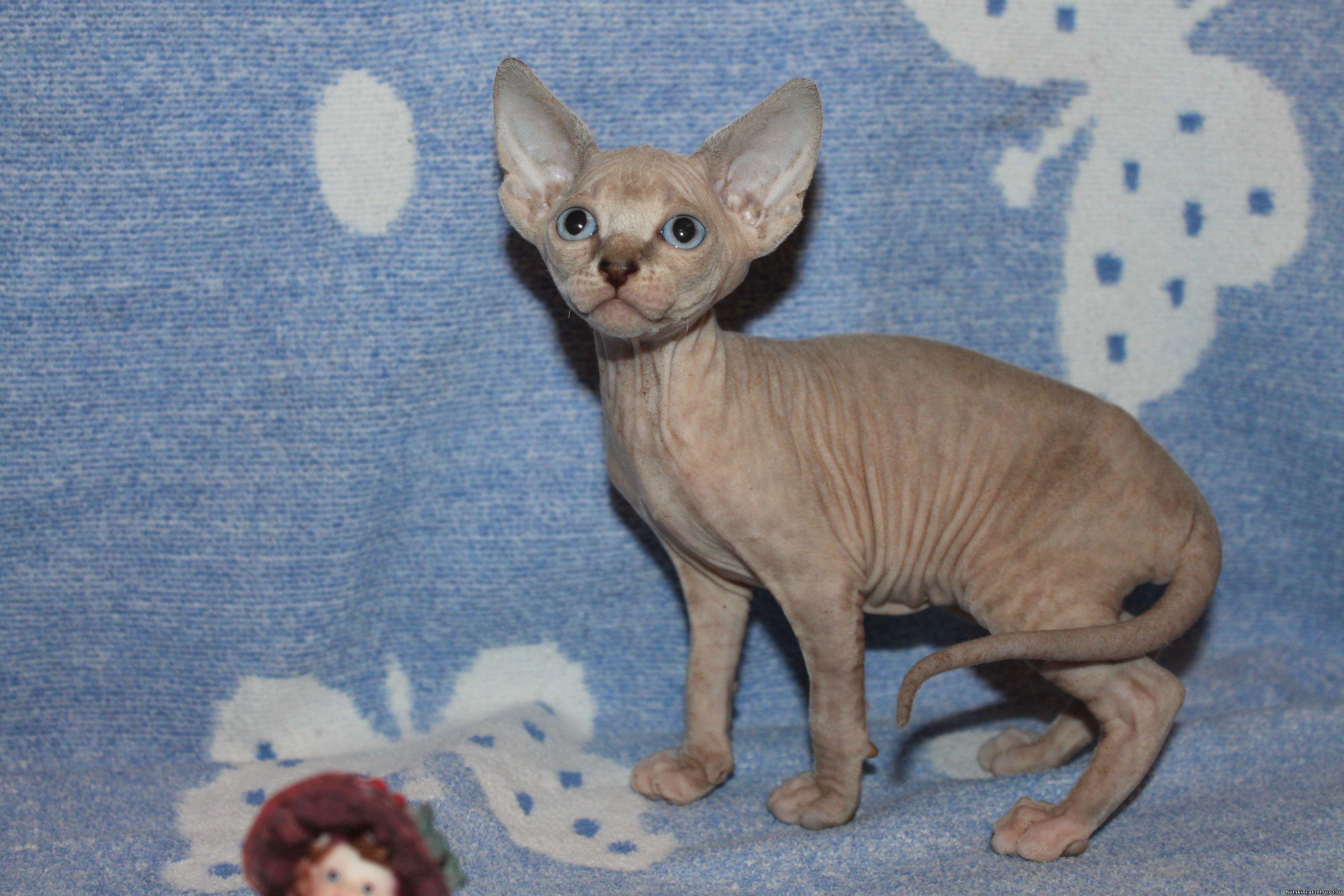 Котята от питомника Hot Skin